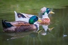 Paar van eenden die op het meer zwemmen Royalty-vrije Stock Foto's