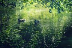 Paar van eenden die op meer zwemmen Royalty-vrije Stock Afbeeldingen