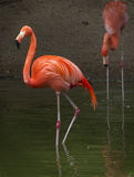 Paar van Flamingoes stock fotografie