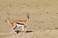 Paar van gazelles van Thompson royalty-vrije stock fotografie