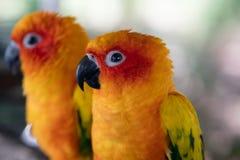 Paar van gele papegaaien Royalty-vrije Stock Foto's