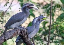 Paar van Grey Hornbills op tak royalty-vrije stock foto's