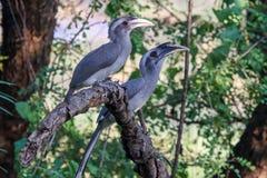 Paar van Grey Hornbills op tak stock fotografie