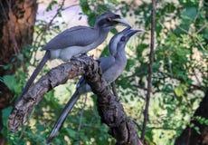Paar van Grey Hornbills op tak royalty-vrije stock afbeeldingen