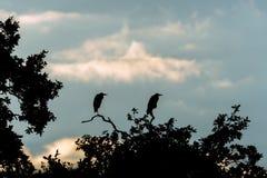 Paar van grijze reigers & x28; Ardea cinerea& x29; gesilhouetteerde zitting op boom Stock Foto