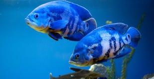 Paar van grote blauwe vissen Stock Foto's