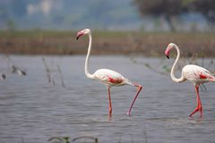 Paar van Grotere Flamingo, Phoenicopterus-roseus, Ujjani-Dambinnenwateren, Bhigwan, Maharashtra Royalty-vrije Stock Foto's