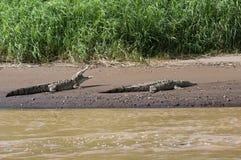 Paar van het Amerikaanse zonnen van Krokodillen Stock Foto's