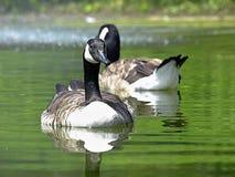 Paar van het Canadese ganzen zwemmen royalty-vrije stock fotografie