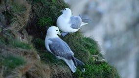 Paar van het fokkennoordse stormvogel op nest stock videobeelden
