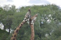 Paar van het houden van van giraffen stock fotografie