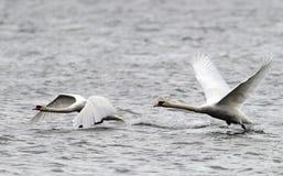 Paar van het Stodde Zwanen vliegen Royalty-vrije Stock Afbeelding
