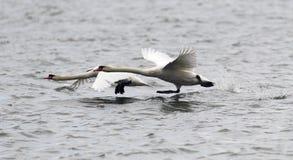 Paar van het Stodde Zwanen vliegen Royalty-vrije Stock Foto's