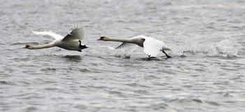 Paar van het Stodde Zwanen vliegen Royalty-vrije Stock Fotografie