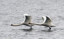 Paar van het Stodde Zwanen vliegen Royalty-vrije Stock Foto