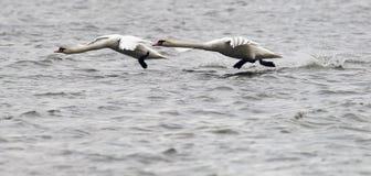 Paar van het Stodde Zwanen vliegen Royalty-vrije Stock Afbeeldingen