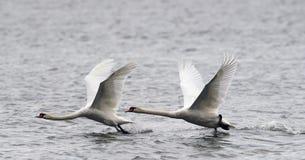 Paar van het Stodde Zwanen vliegen Stock Foto's