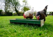 Paar van het tamme kleine kippen gezien voeden uit een voedseltrog in een tuin Stock Afbeelding