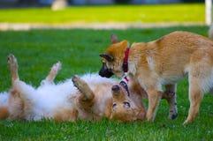 Paar van honden het spelen Royalty-vrije Stock Foto