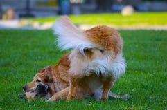 Paar van honden het spelen Royalty-vrije Stock Afbeeldingen