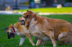 Paar van honden het spelen Stock Foto