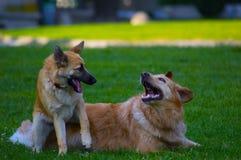 Paar van honden het spelen Stock Foto's