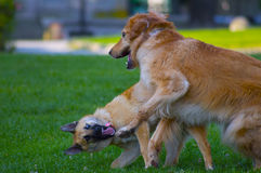 Paar van honden het spelen Royalty-vrije Stock Foto's