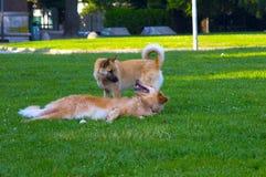 Paar van honden het spelen Stock Afbeelding