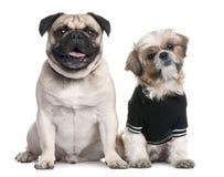 Paar van honden: Shih Tzu kleden-omhoog en pug Royalty-vrije Stock Afbeeldingen