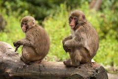 Paar van Japanse macaques Royalty-vrije Stock Foto's