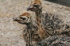 Paar van kleine struisvogels Royalty-vrije Stock Foto's
