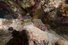 Paar van kleinschalige scorpionfishes in het Rode Overzees stock foto's