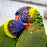 Paar van Kleurrijke Lories Stock Foto's