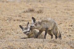 Paar van knuppel-Eared vossen Stock Foto's