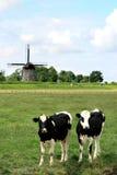 Paar van koeien in Nederlandse landschappen met molen Royalty-vrije Stock Afbeelding