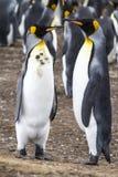 Paar van Koning Penguins stock afbeelding