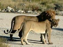 Paar van leeuwen stock foto's