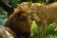 Paar van leeuwminnaars die een omhelzing geven stock afbeelding