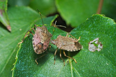 Paar van lenteshieldbug Royalty-vrije Stock Afbeeldingen