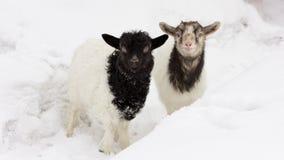 Paar van leuke geitjonge geitjes Stock Fotografie