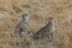 Paar van leuke jachtluipaarden in de savanne stock afbeelding