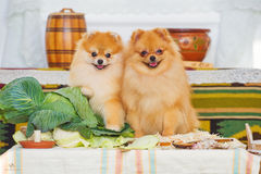 Paar van leuke spitz puppy stock afbeeldingen