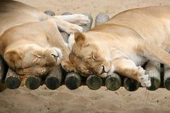 Paar van Luie Leeuwen Stock Afbeelding