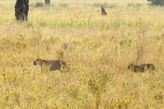 Paar van luipaarden in savanne Royalty-vrije Stock Afbeeldingen