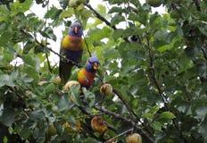 Paar van mannelijke en vrouwelijke Australische inheemse Regenboog Lorikeets Stock Afbeeldingen