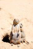 Paar van marmotten Stock Afbeelding