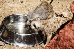 Paar van Meerkats-het drinken stock fotografie