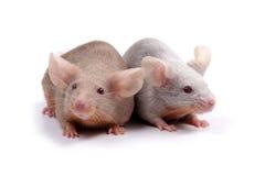Paar van muizen Stock Afbeeldingen