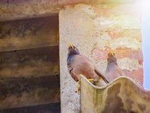 Paar van Myna-vogels in de avond Royalty-vrije Stock Afbeelding