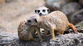 Paar van nieuwsgierige meerkats (Suricata-suricatta) Royalty-vrije Stock Foto's